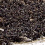 Wild beest migration