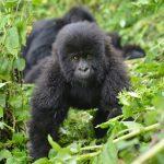 Gorilla Photo Safaris in Uganda