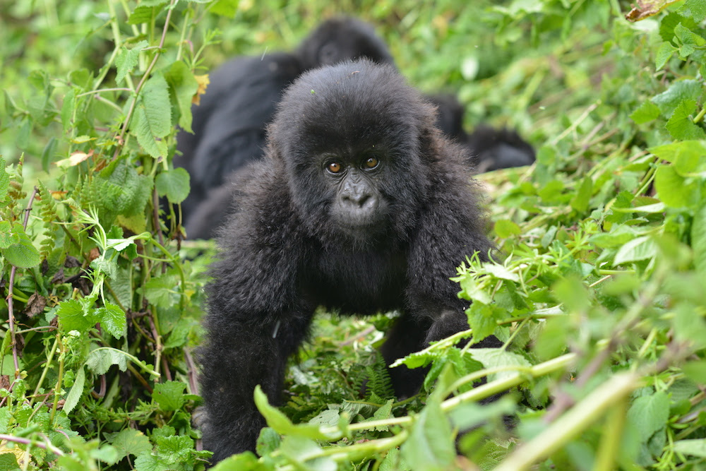 Gorilla Photo Safaris in Uganda