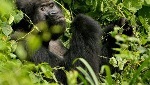 gorilla safaris in Volcanoes Park, Rwanda